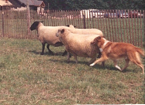 Holmhaven Collie herding sheep