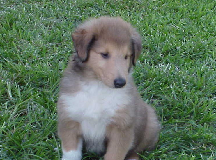 Collie Puppies For Sale In Florida