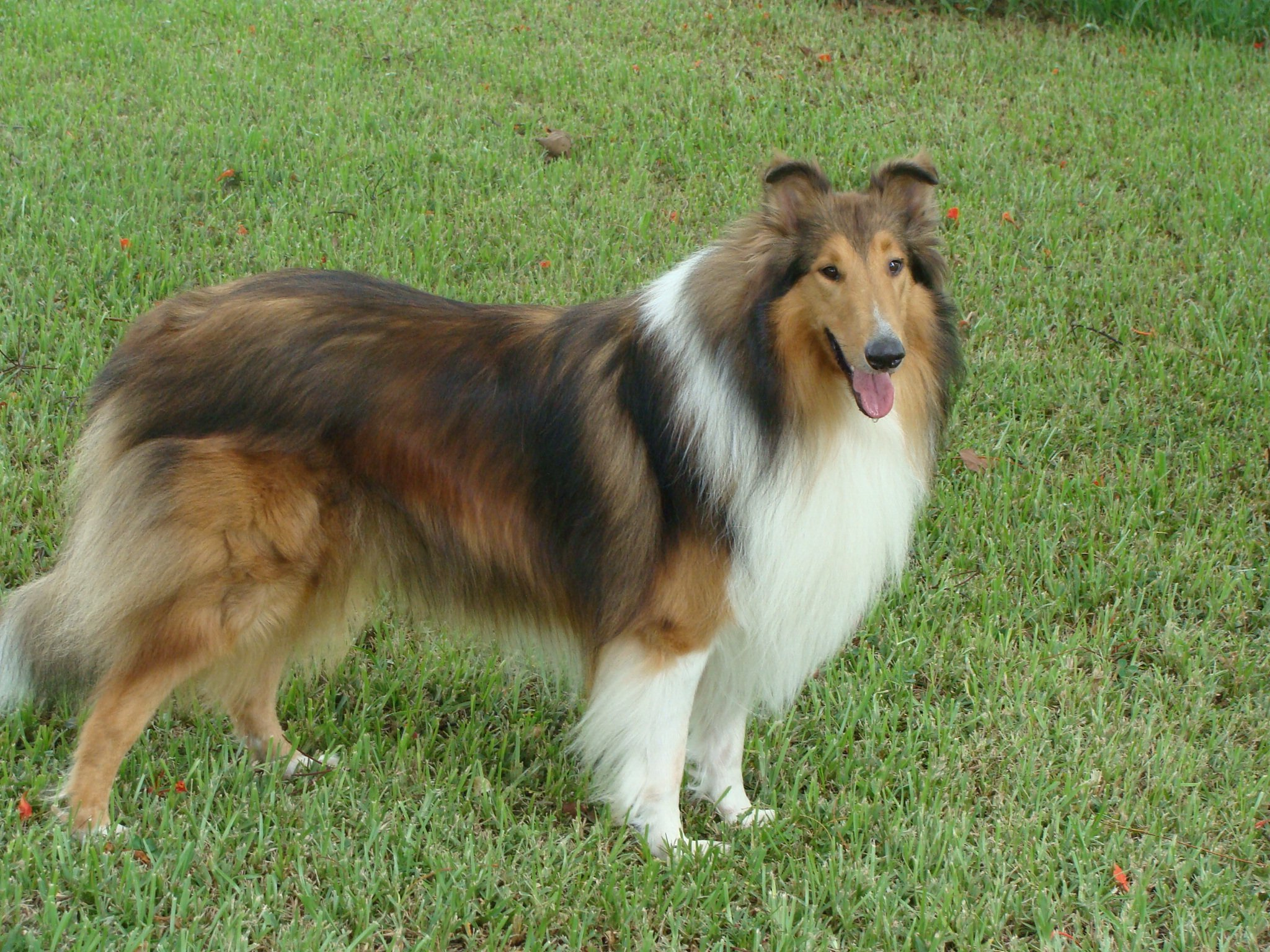 Collie Sex 4