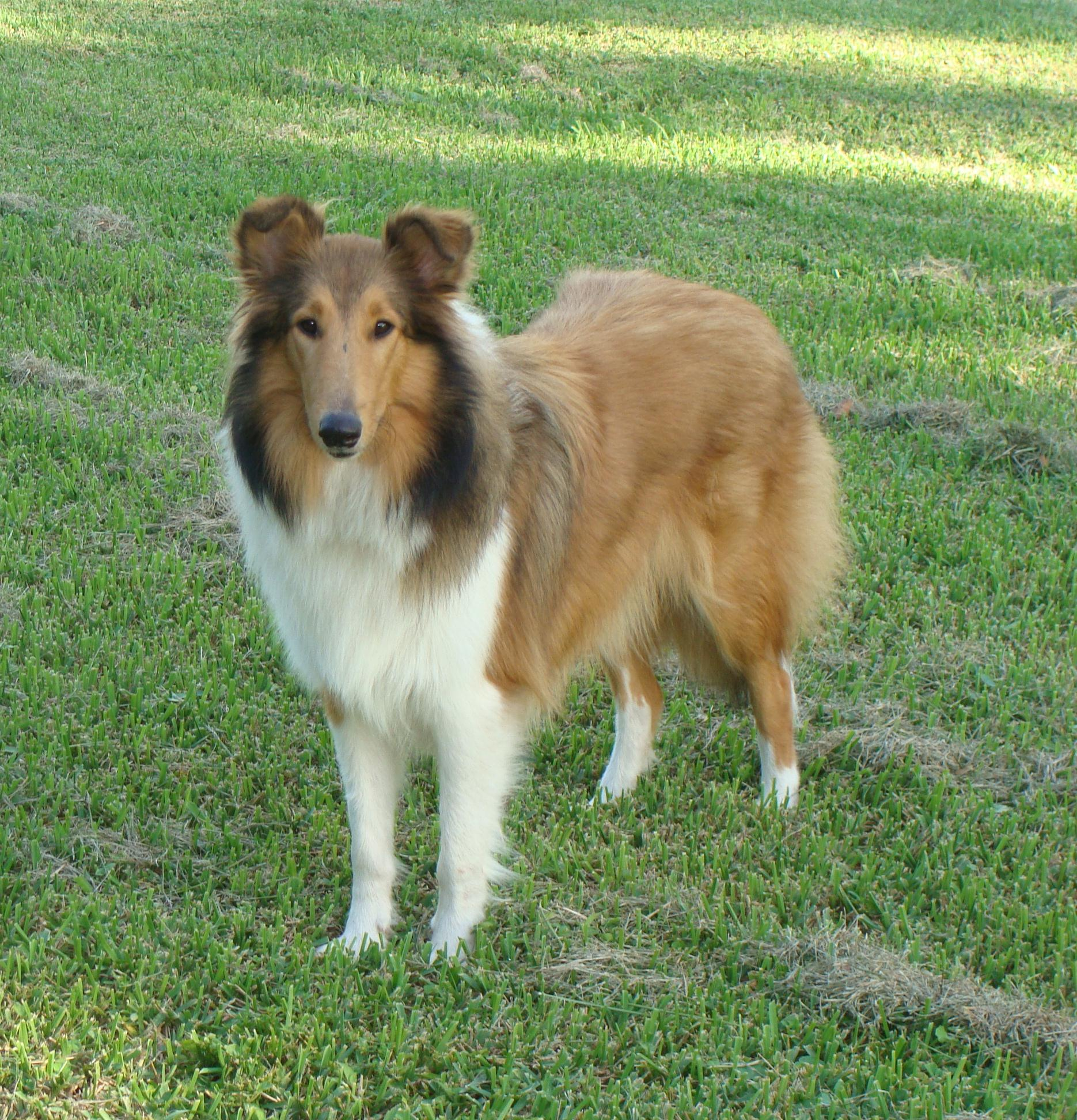 Collies for Sale in Florida